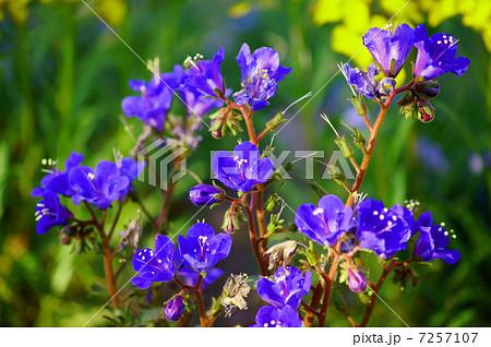 ファセリア 花言葉:幸福感 Phacelia campanularia'Blue Bell'  7257107