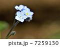 ワスレナグサ(勿忘草) 7259130