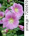 花びら タチアオイ ピンクの花の写真 7260470