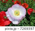 ヒナゲシ 虞美人草 雛芥子の写真 7269397