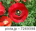 ヒナゲシ 虞美人草 雛芥子の写真 7269398