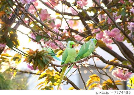 桜の蜜が大好きな野生のワカケホンセイインコ  (ツキノワインコ) 7274489