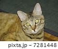 猫 7281448