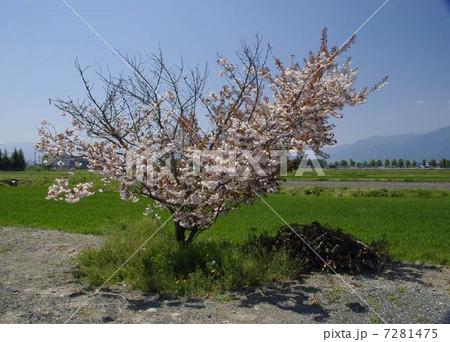桜 7281475