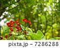 5月花 ビオラ・スミレ科70 7286288