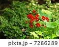 5月花 ビオラ・スミレ科69 7286289