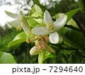 文旦(柑橘類・ミカンの一種)の花 7294640
