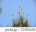 青空に松笠になるクロマツの雌花 7295026