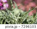 アーティチョーク 7296103