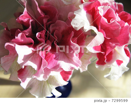 八重咲きペチュニア 7299599