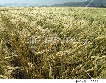 朝の大麦畑 7299956