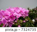 シバザクラ 7324735