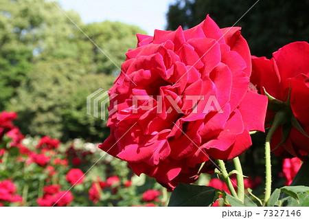 バラ、キャラミア、赤 7327146