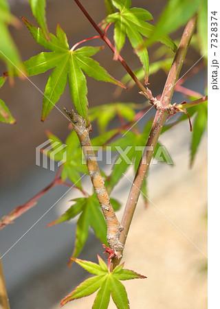 もみじの枝に化けるシャクトリ虫 7328374