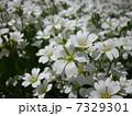 白い芝桜1 7329301