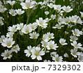 白い芝桜2 7329302