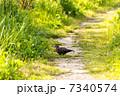 ドバト ハト 鳩の写真 7340574
