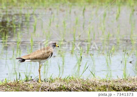 ケリ:チドリ科(水辺の野鳥) 7341373