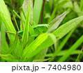 キリギリスの幼虫 メス (産地 高知県 ニシキリギリス?) Katydid 1 7404980