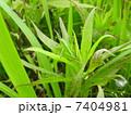 キリギリスの幼虫 メス (産地 高知県 ニシキリギリス?) Katydid 2 7404981