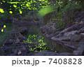ゲンジホタル 昆虫 ホタルの写真 7408828