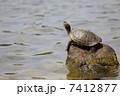 甲羅干し 日光浴 亀の写真 7412877
