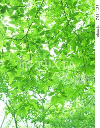 新緑の若葉と木漏れ日の風景/背景 7414123