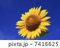 サンフラワー ヒマワリ 花の写真 7416625