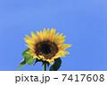 ヒマワリ サンフラワー 花の写真 7417608