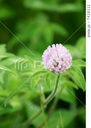 雪花詰草セッカツメクサと申します。紫詰草の白花タイプです。 7428111