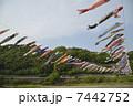 こどもの日 川渡し 鯉のぼりの写真 7442752