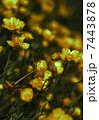 キンポウゲ 金鳳花 お花の写真 7443878