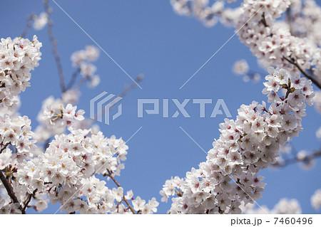 桜と青空 7460496