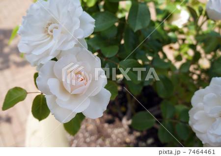 淡いコーラルのバラ 7464461