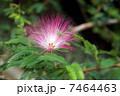 ねむの木の花 7464463