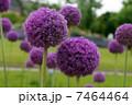紫の丸い花 7464464