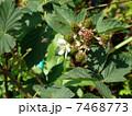 ブラックベリーとミツバチ 7468773