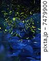ゲンジホタル 昆虫 蛍の写真 7479900