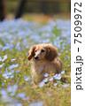 ダックスフント ミニチュアダックスフント 犬の写真 7509972