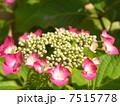6月 ガクアジサイ 紫陽花の写真 7515778