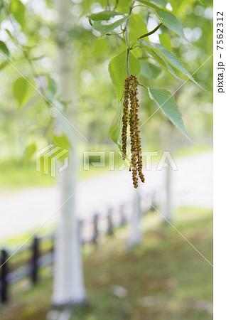 シラカバ花粉 7562312