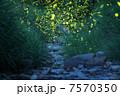 ゲンジホタル 昆虫 蛍の写真 7570350