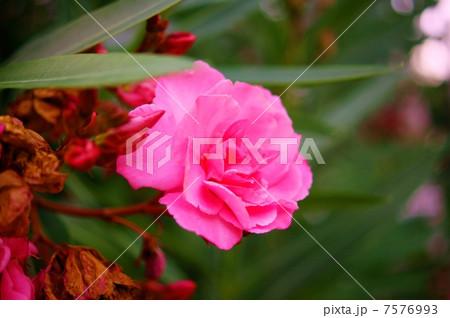 キョウチクトウ(夾竹桃) 花言葉:恵まれた人 Nerium oleander 7576993