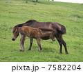 御崎馬 7582204