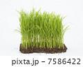 苗 苗床 稲の写真 7586422