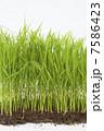 苗 苗床 稲の写真 7586423