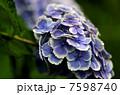 紫陽花 7598740