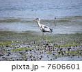 谷津干潟公園 野鳥 アオサギの写真 7606601