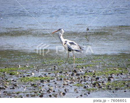 谷津干潟公園で朝の食事のボラを呑み込んで喉が膨らんでいるアオシギ 7606601