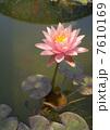 ピンクのスイレン 7610169